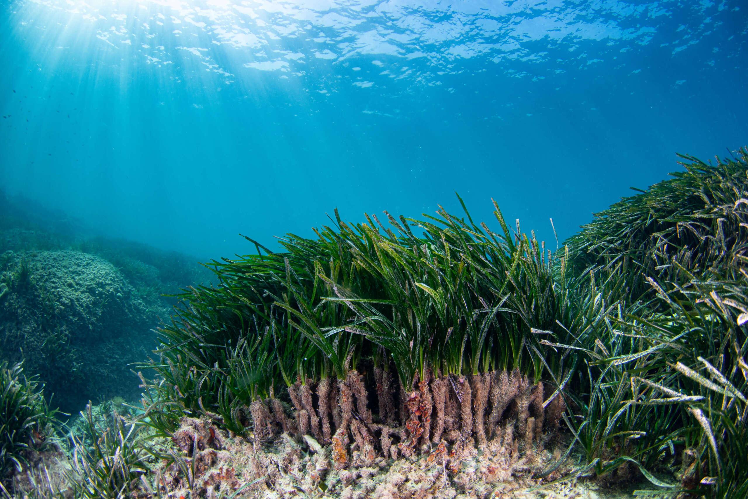 Posidonia Oceánica: La importante labor de Arrels Marines para salvarla